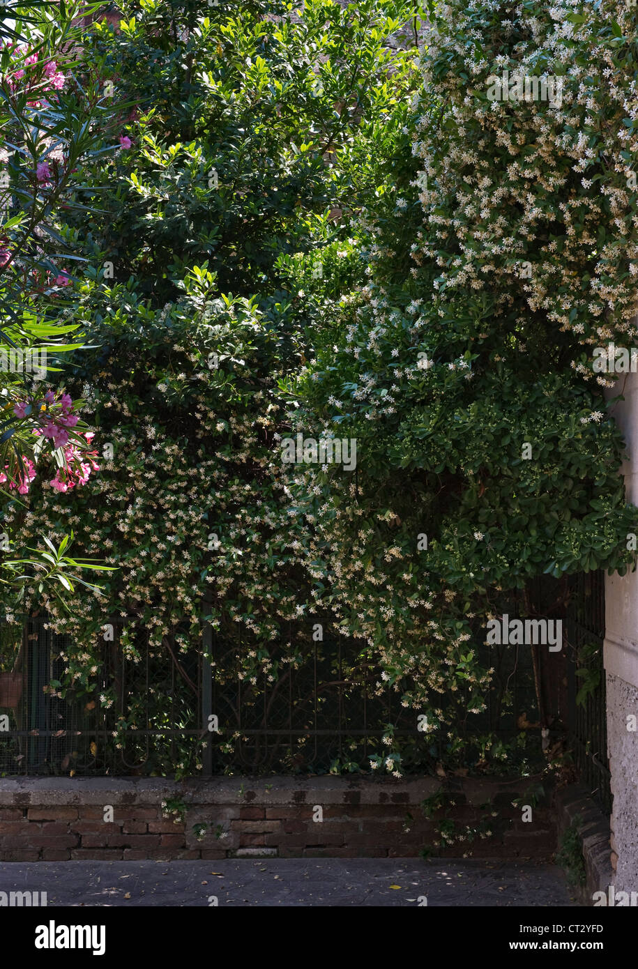 Venice, Italy. Jasmine growing in a back street in the district of Cannaregio - Stock Image