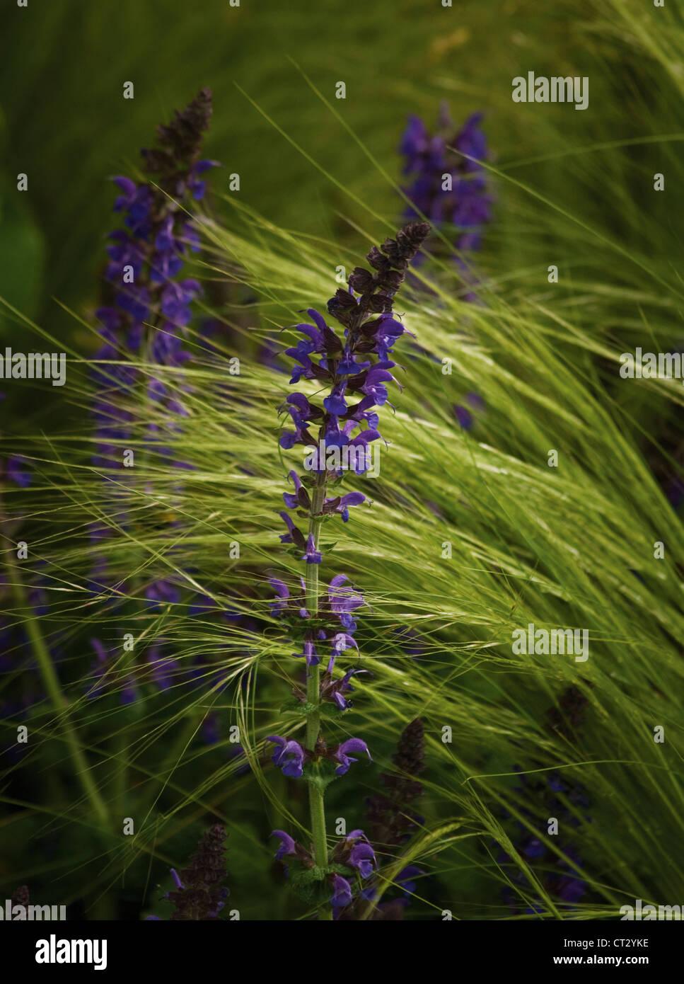 Salvia - Stock Image