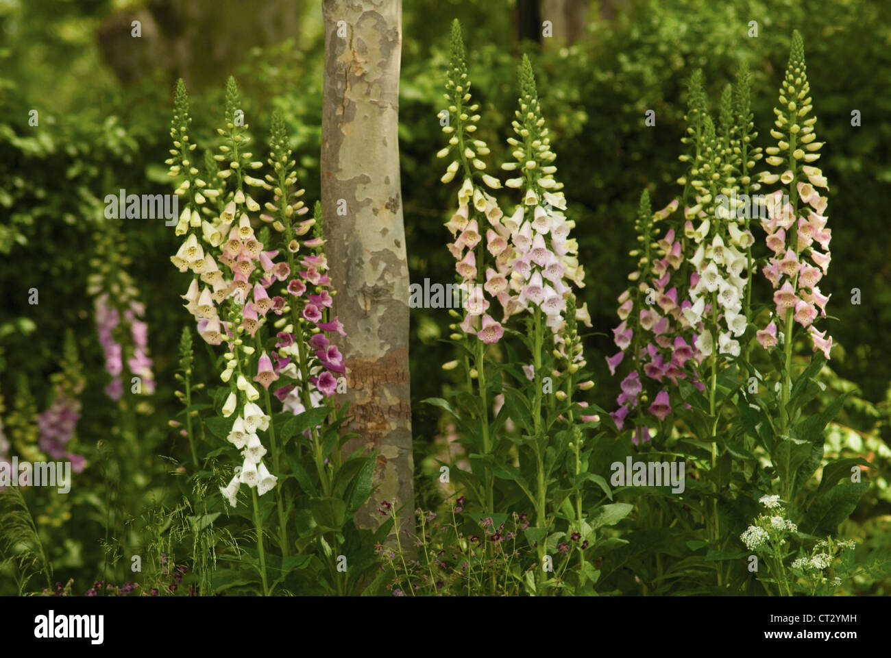 Digitalis purpurea, Foxglove - Stock Image