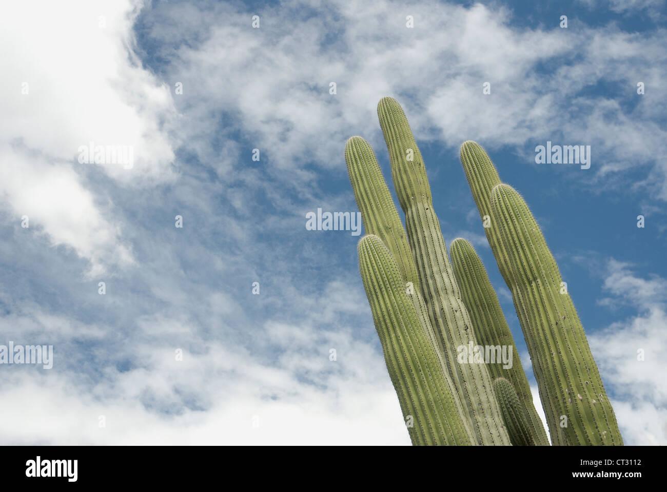 Saguaro cactus, Carnegiea gigantea, green spears of columnar succulent against a blue sky with clouds. - Stock Image