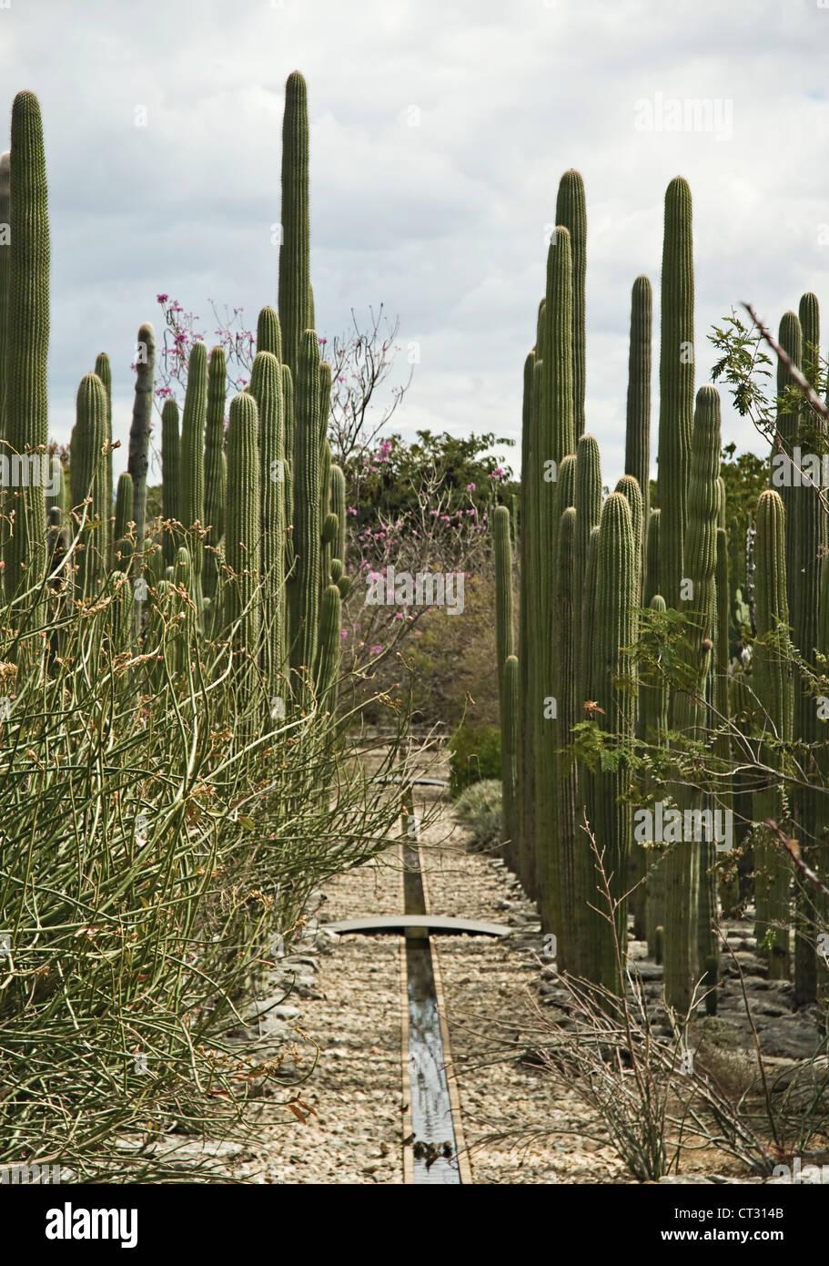 Carnegiea gigantea, Cactus, Saguaro cactus - Stock Image
