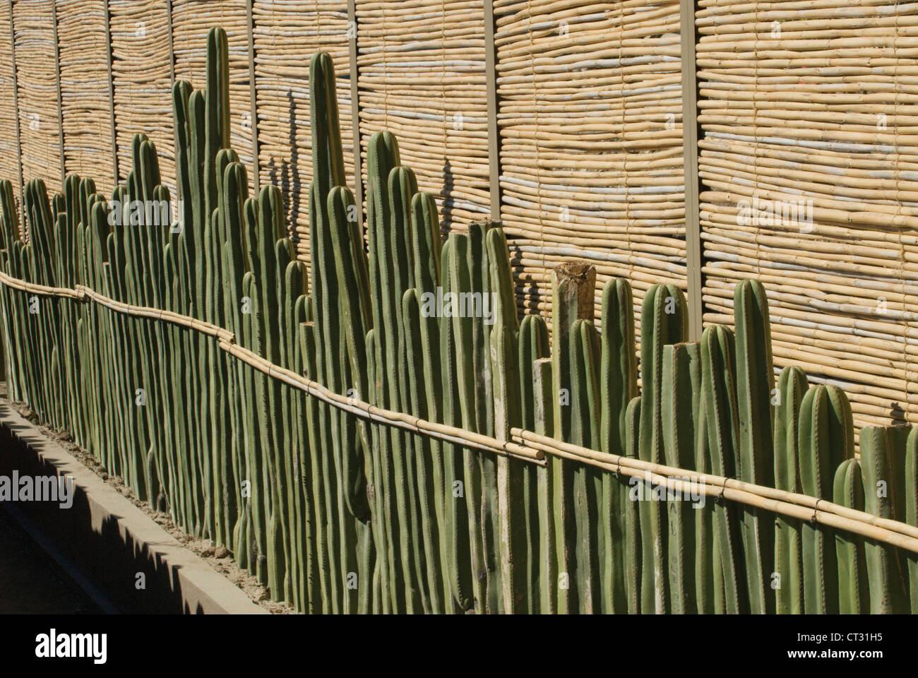 Pachycereus Marginatus, Cactus, mexican fence post cactus - Stock Image