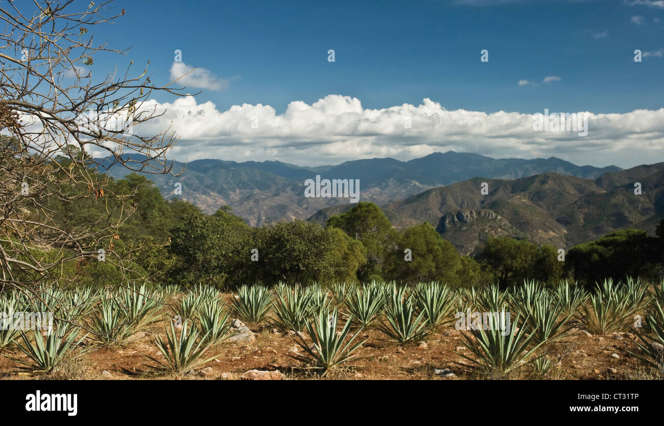 Agave tequilana, Blue agave used in the production of tequila growing in the hills of Oaxaca, Mexico. - Stock Image