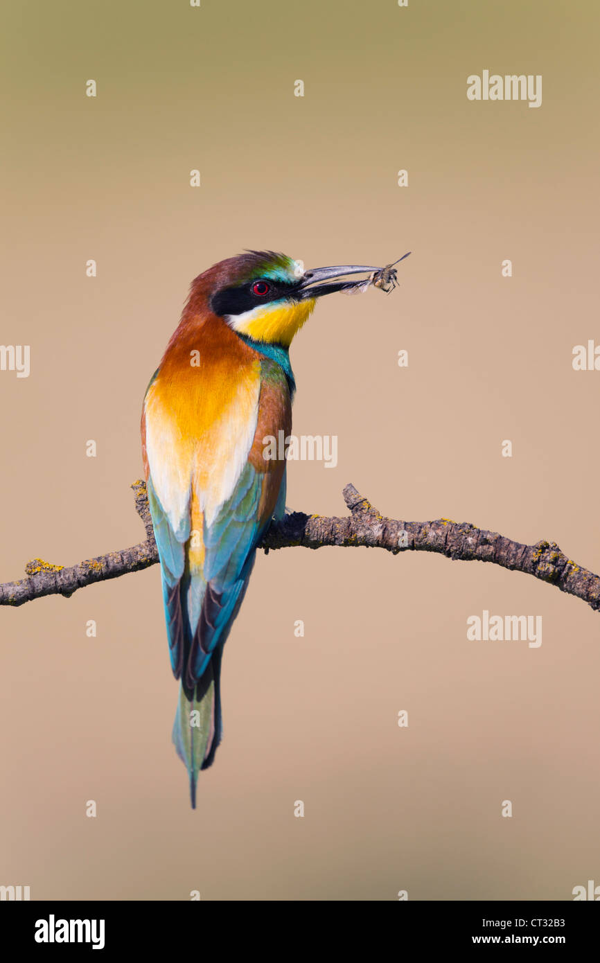 Bee Eater; Merops apiaster; Spain; with insect Stock Photo