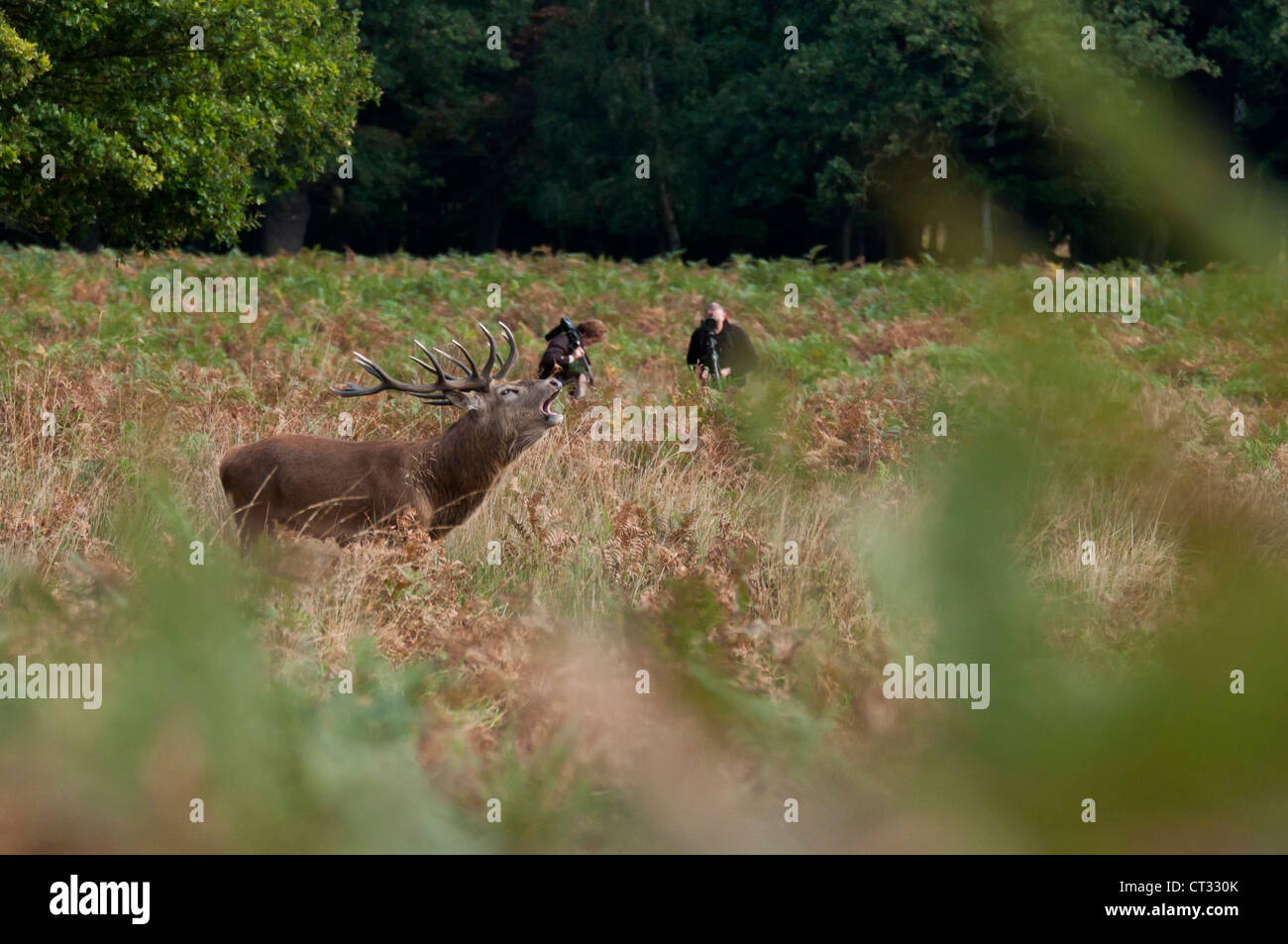 Red deer (Cervus elaphus) stag roaring with photographers. Stock Photo