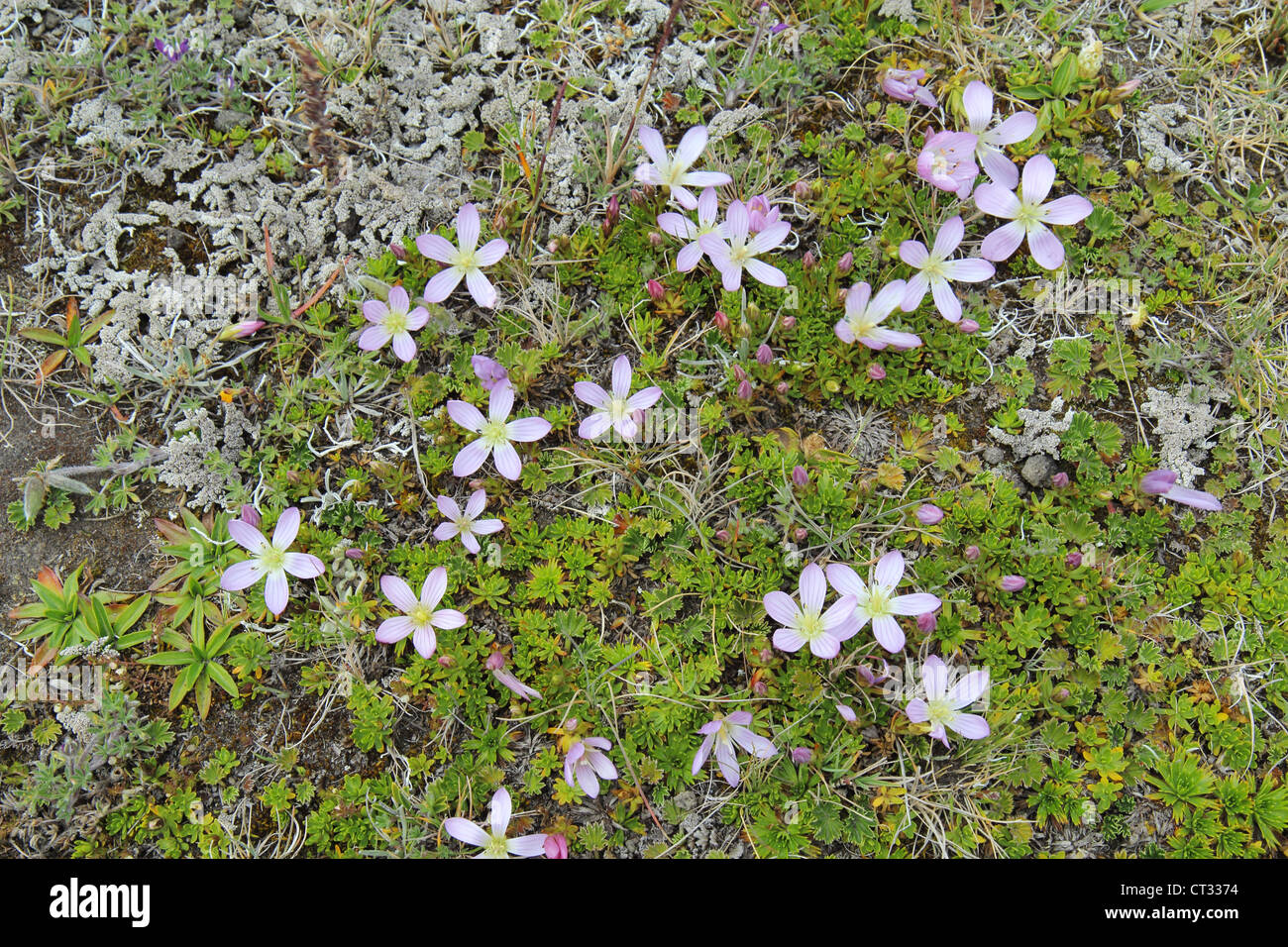 Dwarf gentians on the slopes of the Cotopaxi volcano in the highlands of Ecuador - Stock Image