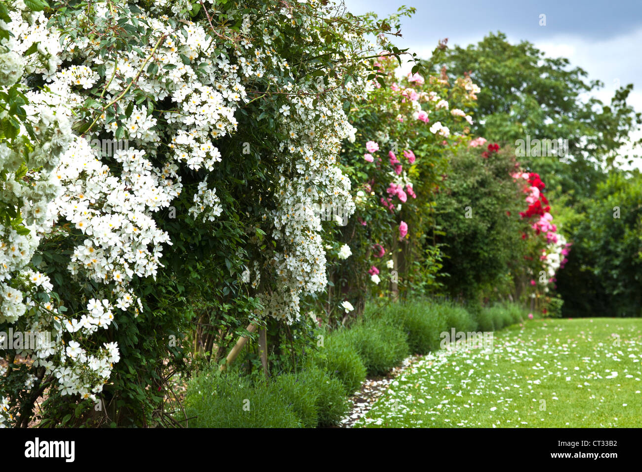 Glorious Display of Climbing Rose at RHS Hyde Hall Gardens - Stock Image