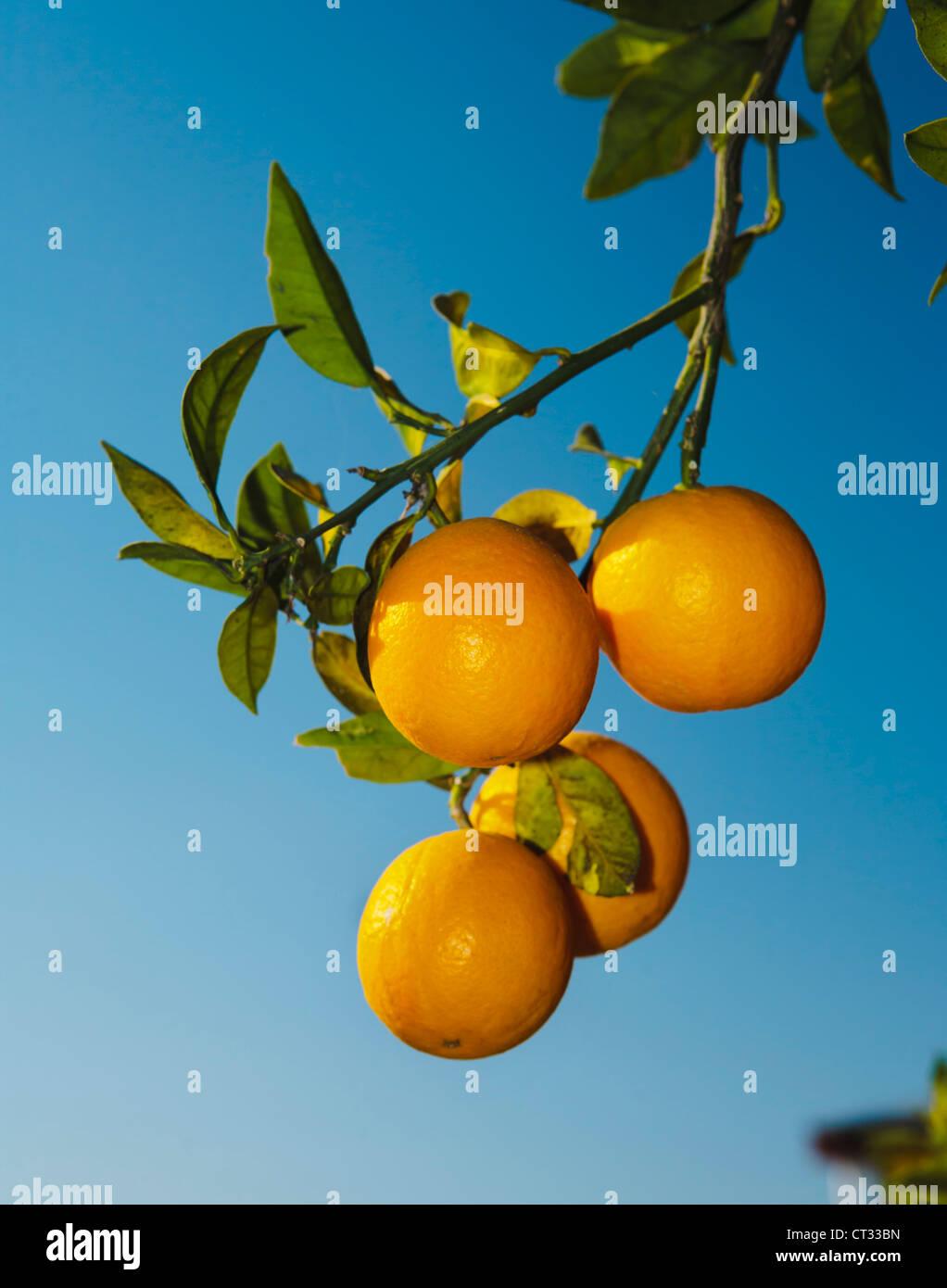 Oranges on branch, Himachal Pradesh, India - Stock Image