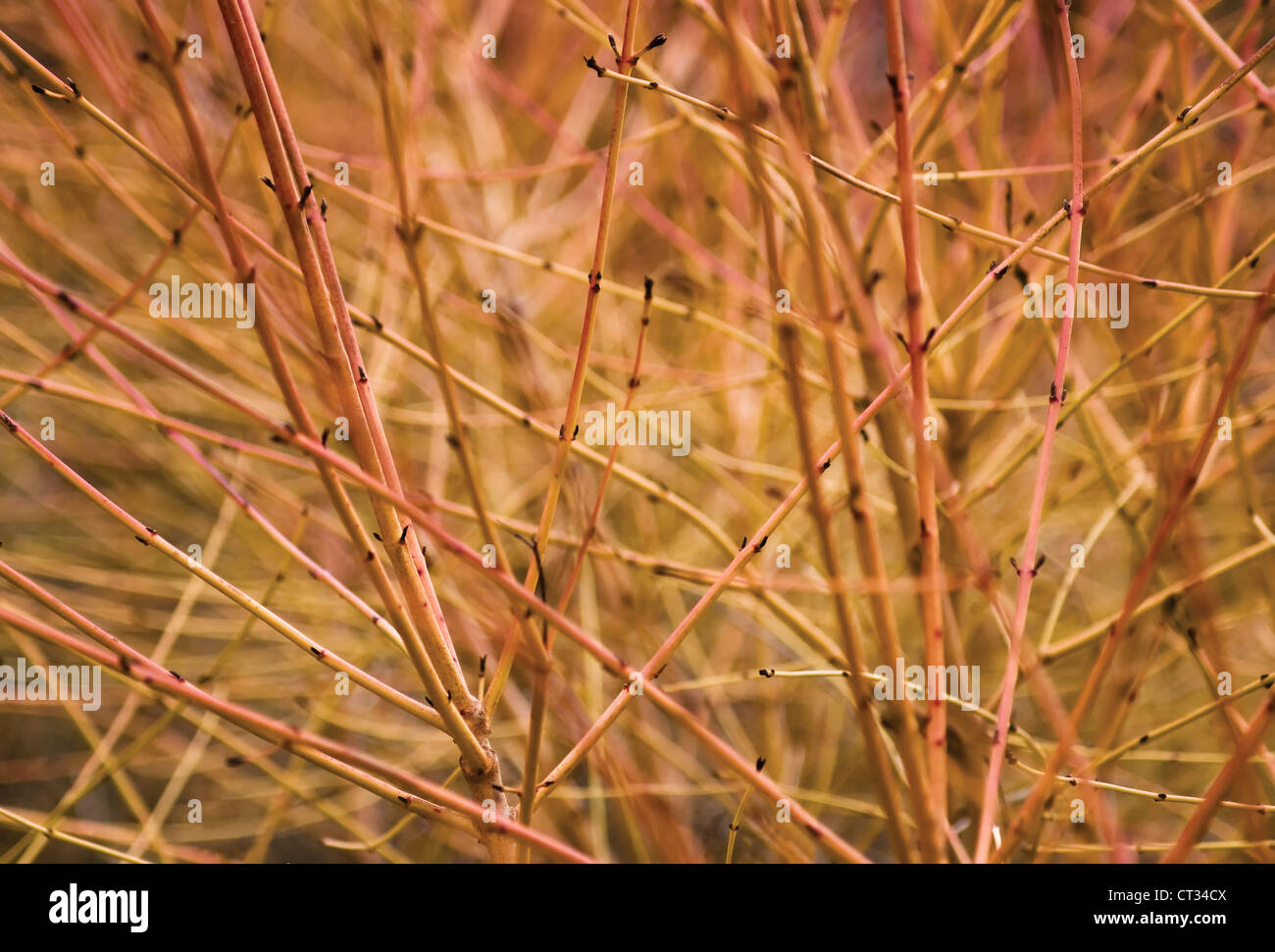 Cornus sanguinea 'Midwinter fire', Dogwood, Close up of red leafless stems on the shrub. - Stock Image