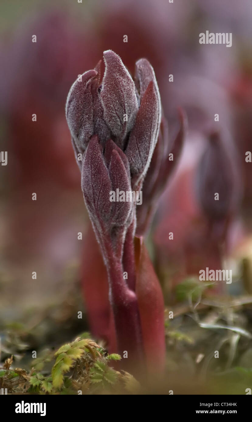 Paeonia mascula subsp. russoi, Peony - Stock Image