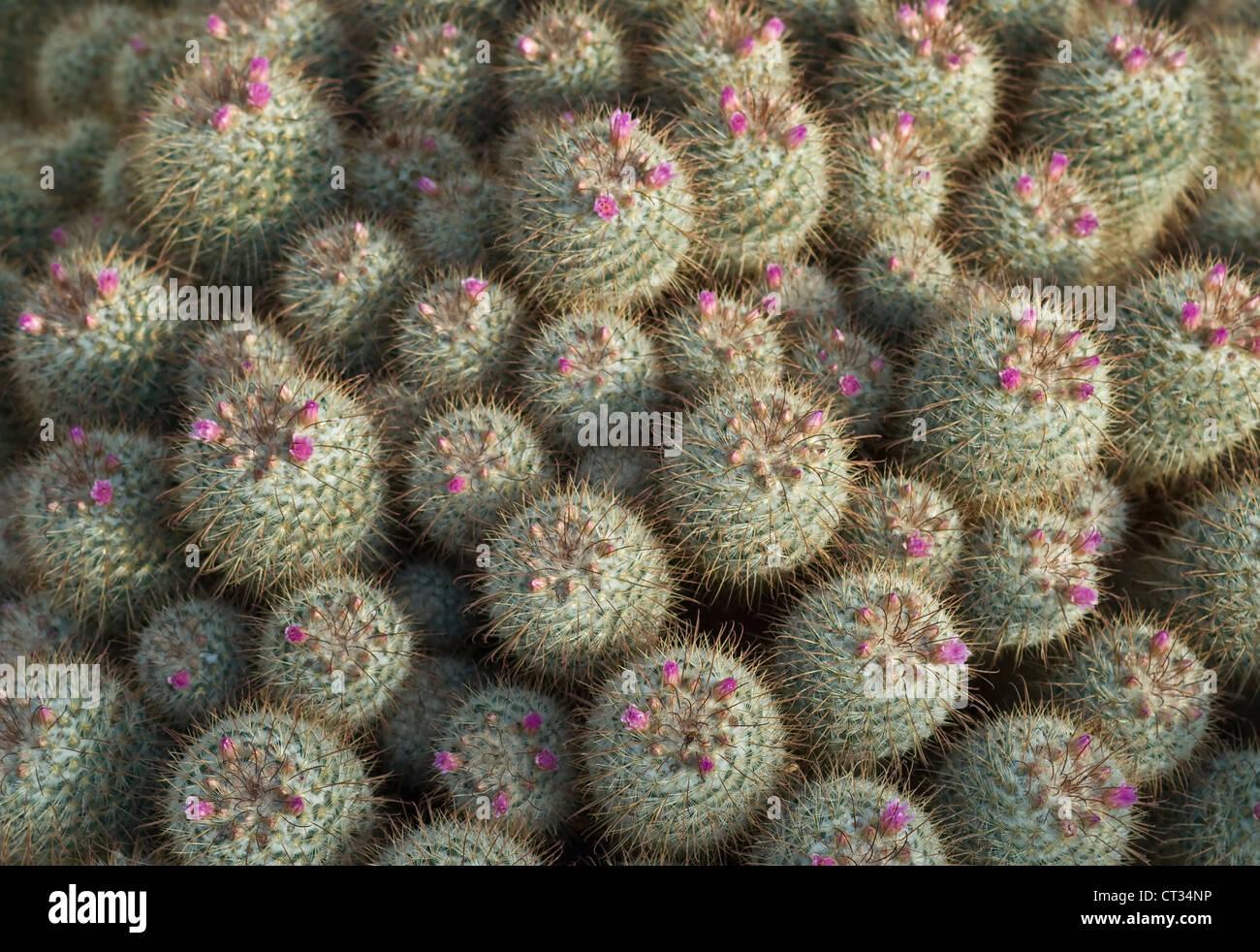 Mammillaria bombycina, Cactus, Pincushion cactus Stock Photo