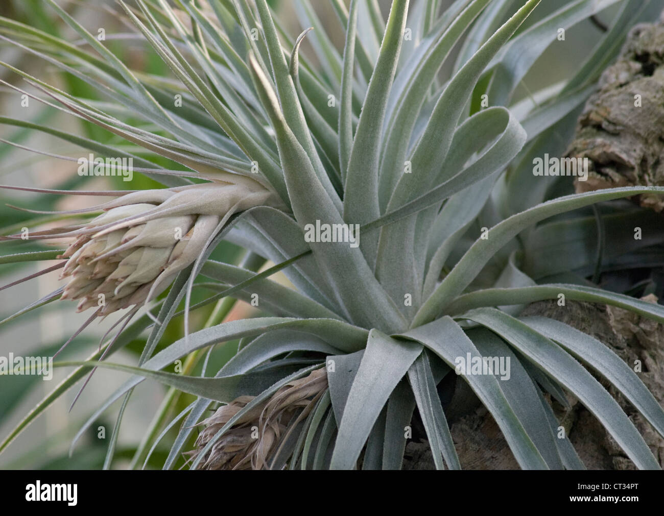 Tillandsia, Air plant - Stock Image