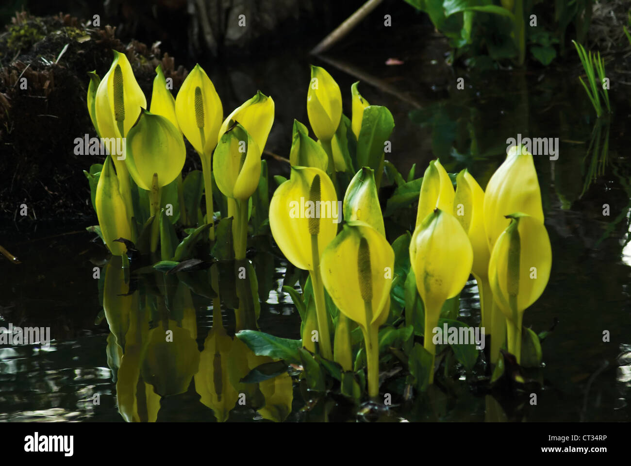 Lysichiton americanus, Skunk cabbage Stock Photo