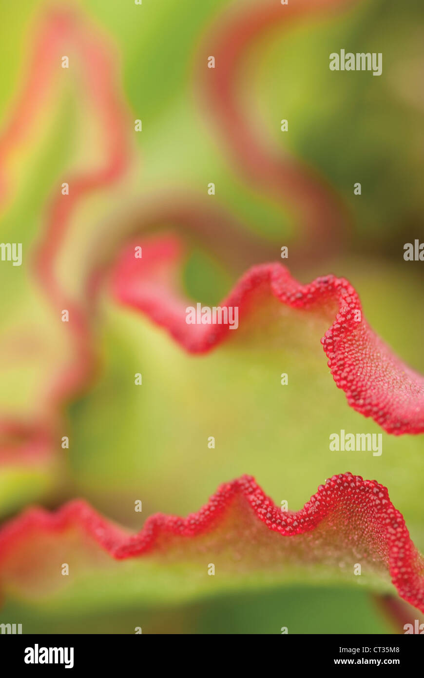 Cotyledon orbiculata, Round-leafed Navel-wort or Pig's ear. Undulating green leaves edged with red. - Stock Image