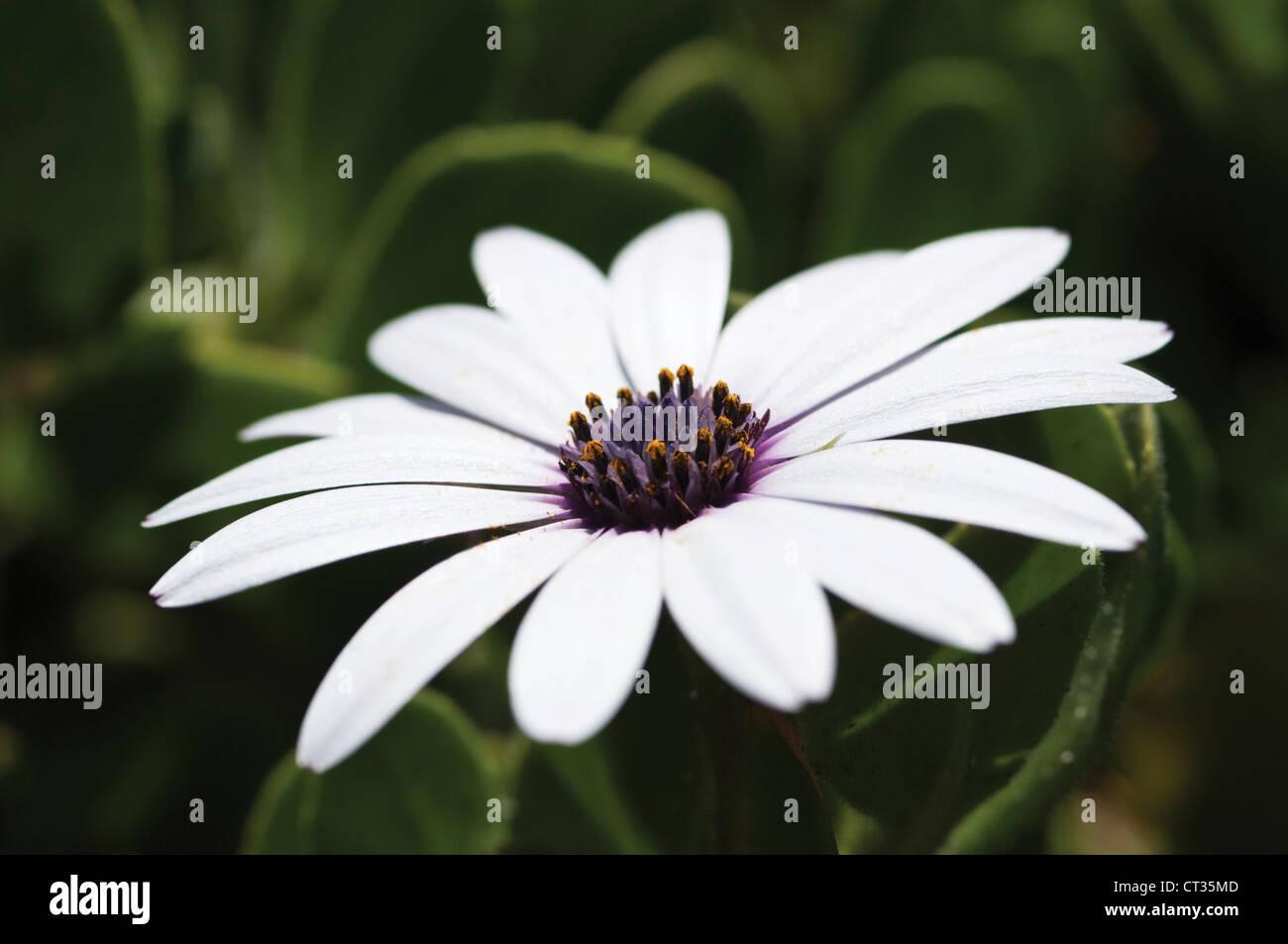 Osteospermum, Osteospermum , Cape daisy - Stock Image