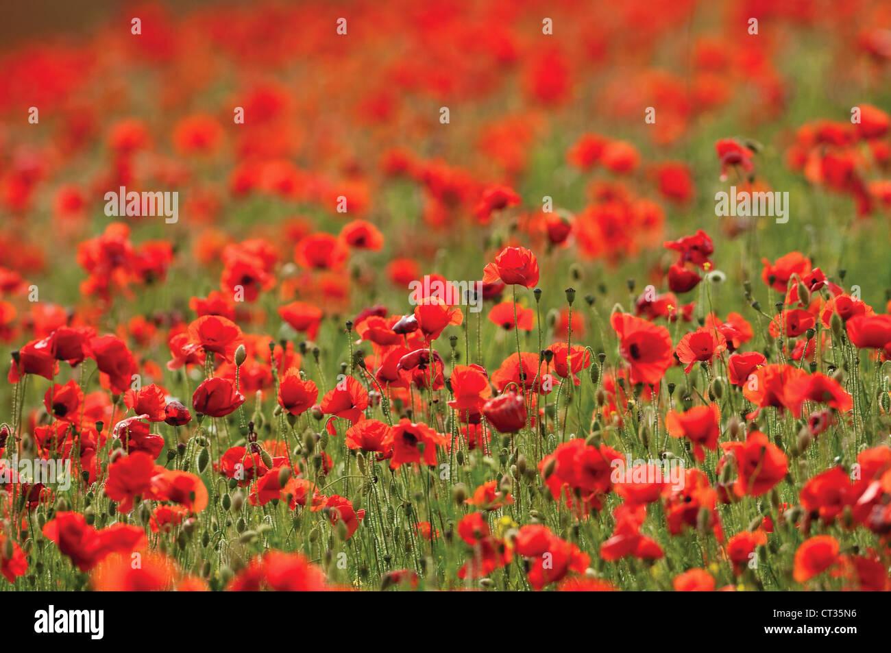 Papaver rhoeas, Poppy field Stock Photo
