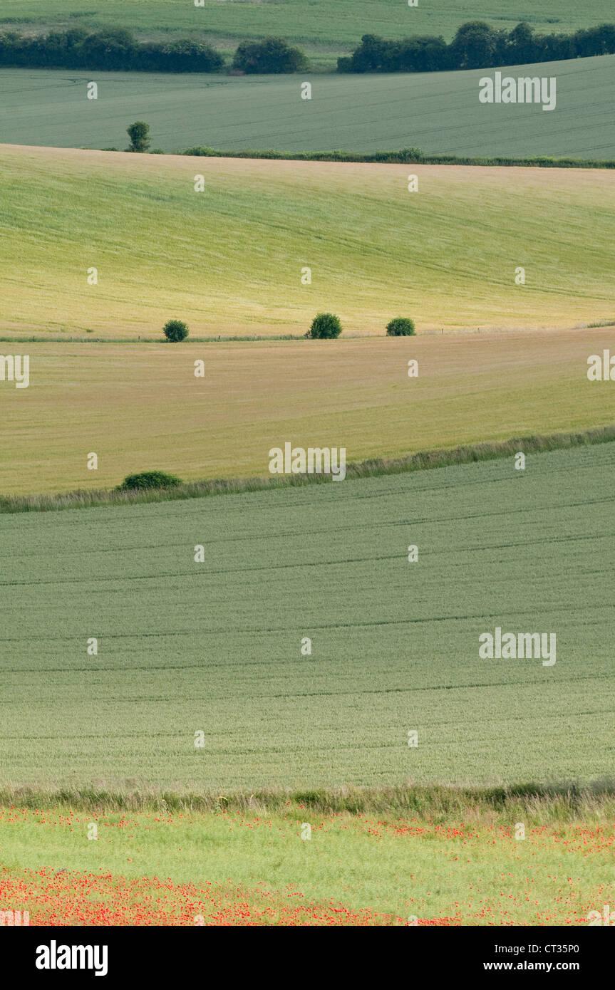 Papaver rhoeas, Poppy field - Stock Image