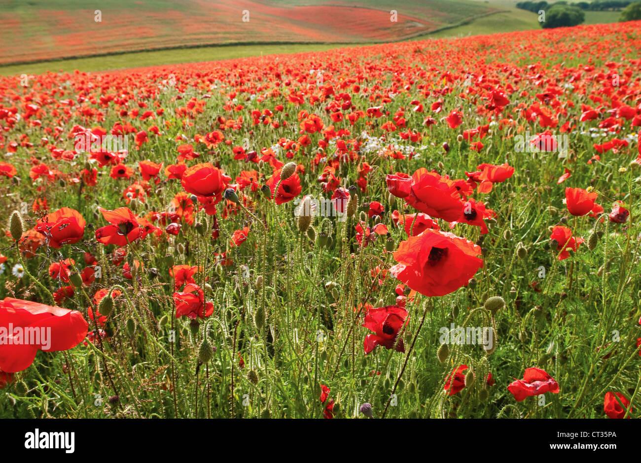 Field poppy, Papaver rhoeas, field of red poppies. - Stock Image