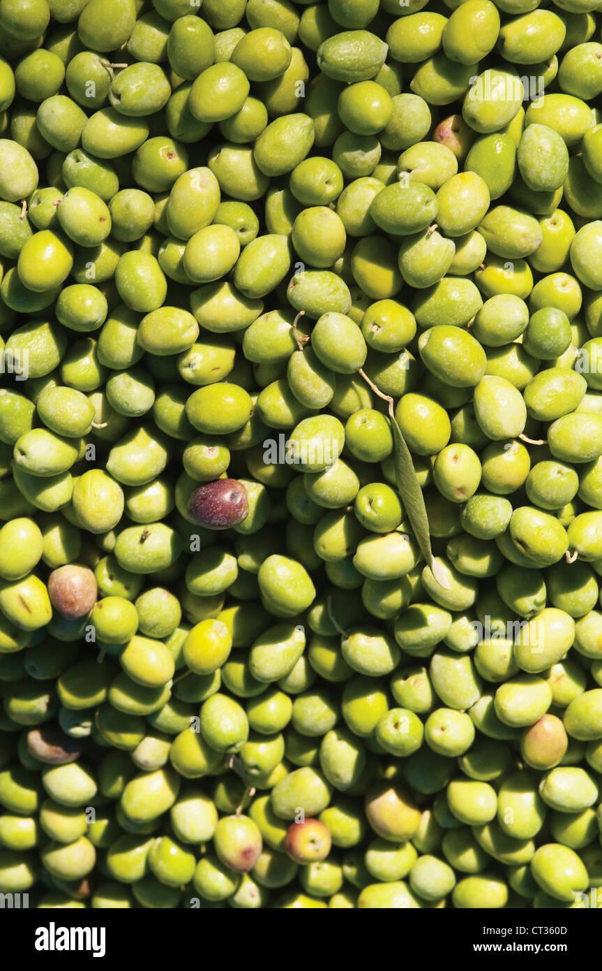 Olea europea, Olive - Stock Image