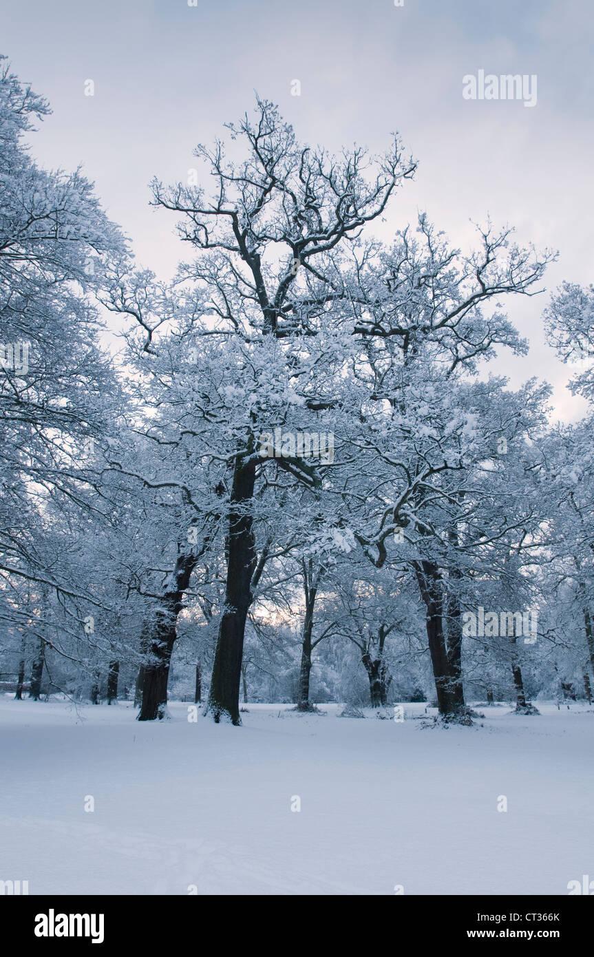 Quercus, Oak - Stock Image