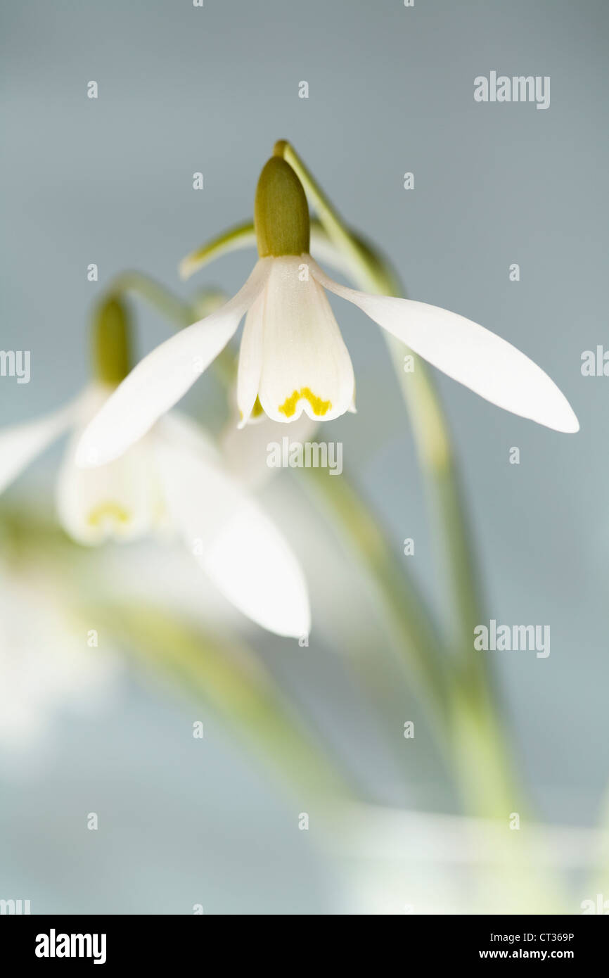 Galanthus nivalis, Snowdrop, pendulous white flowers on stems in a glass vase against a grey background. - Stock Image