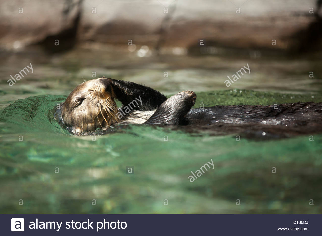 Sea Otter, Seattle Aquarium, Seattle, Washington - Stock Image