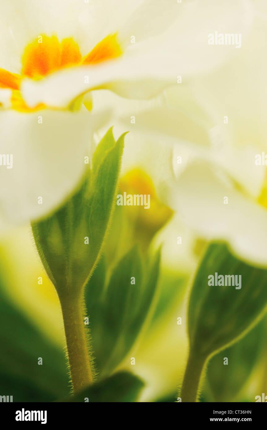 Primula vulgaris, Primrose - Stock Image
