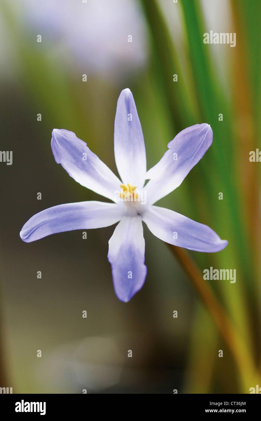 Chionodoxa, Glory-of-the-snow - Stock Image