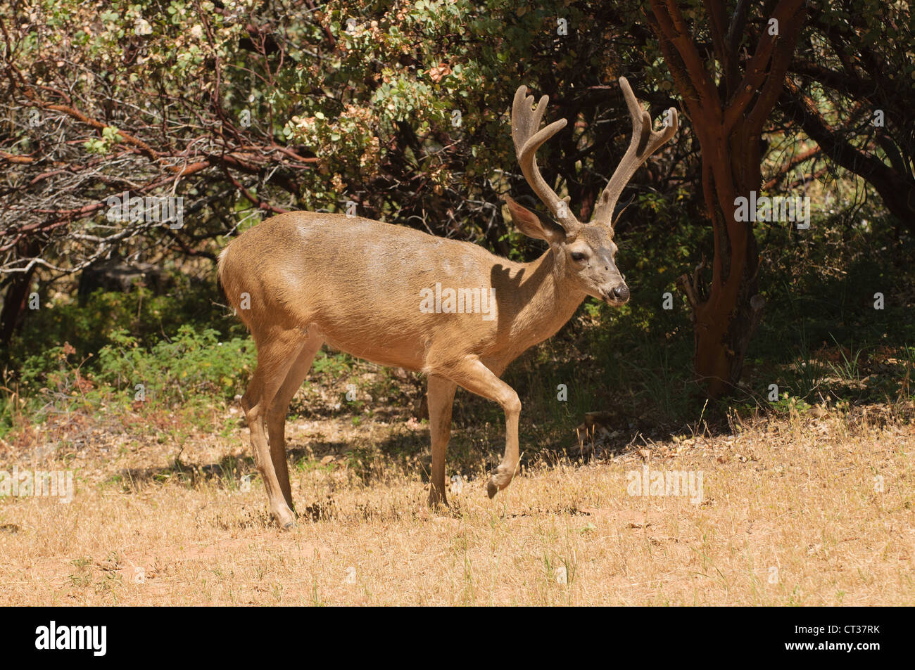 Colombian Black-tailed buck tip-toeing through some logging area - Stock Image