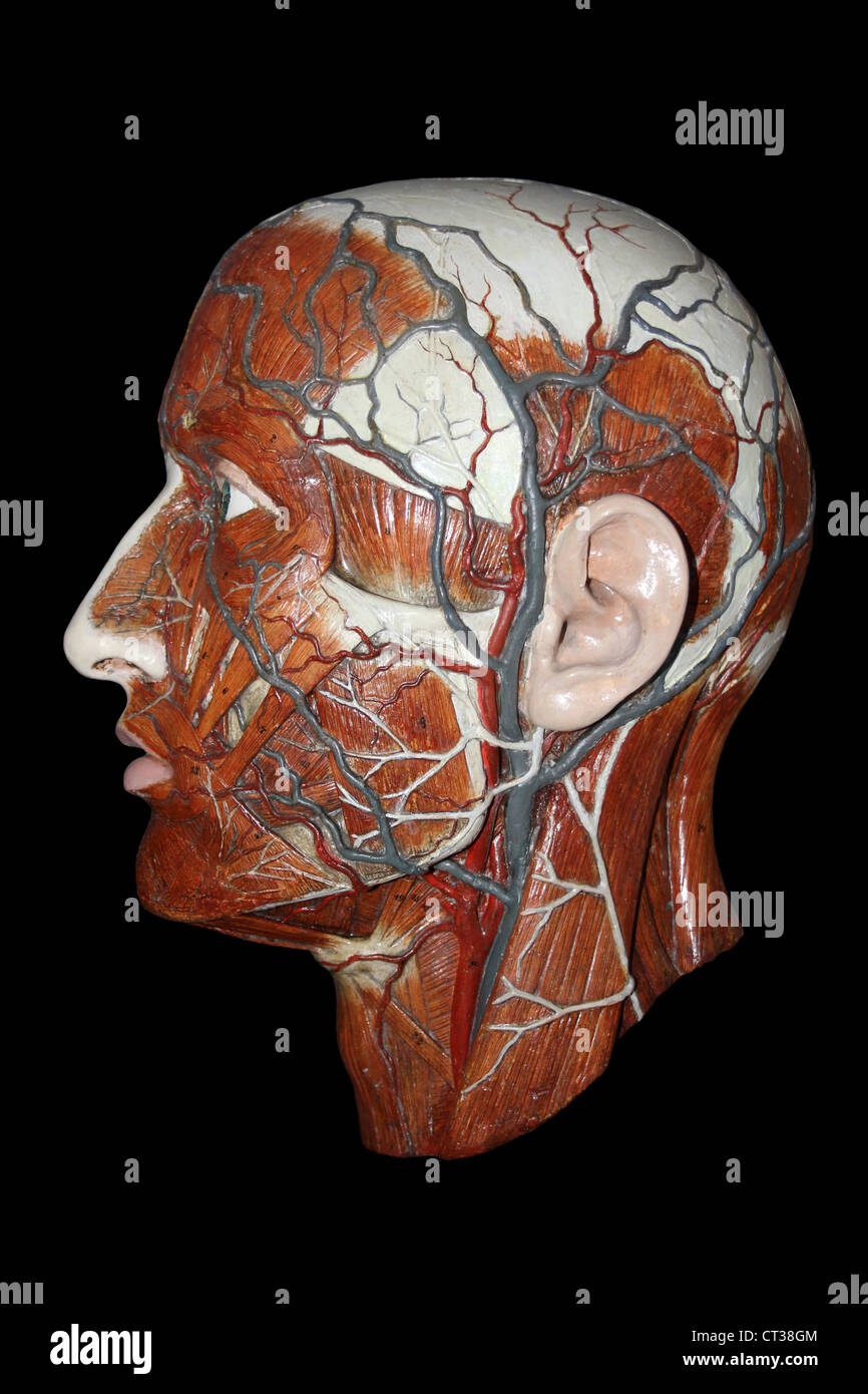 Arteries Veins Stock Photos Arteries Veins Stock Images Alamy