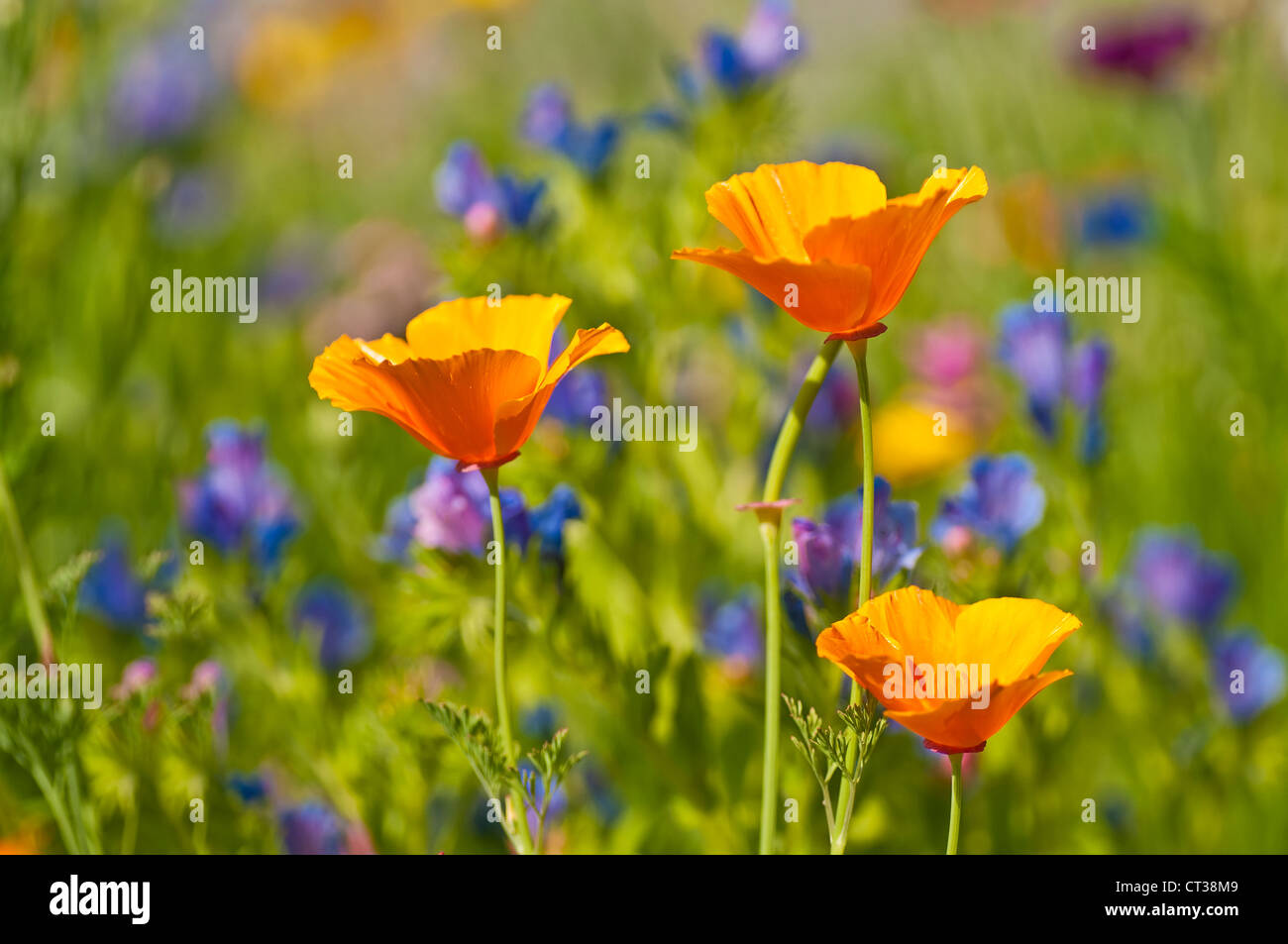 Californian poppy - Stock Image