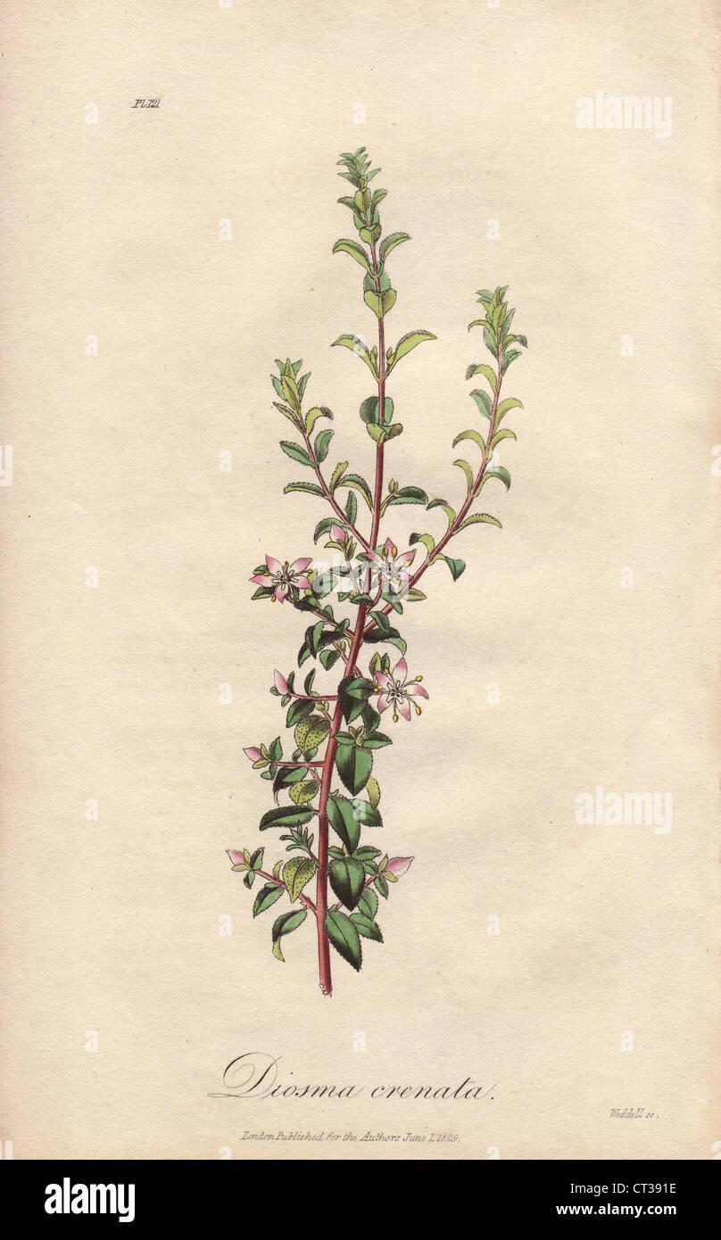 Oval leaf buchu, Agathosma crenulata. - Stock Image