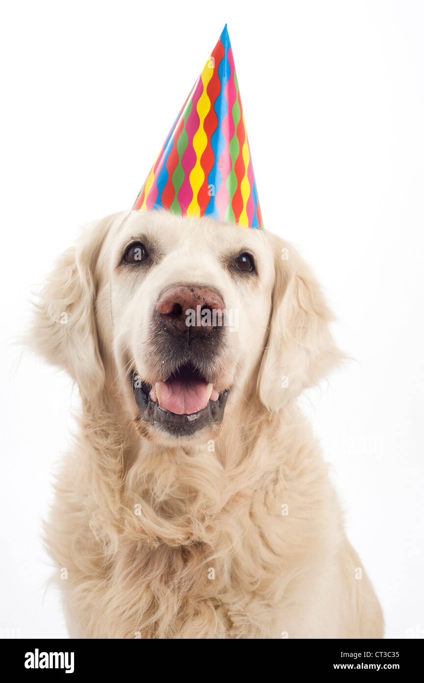 Golden Retriever Dog With A Birthday Party Hat