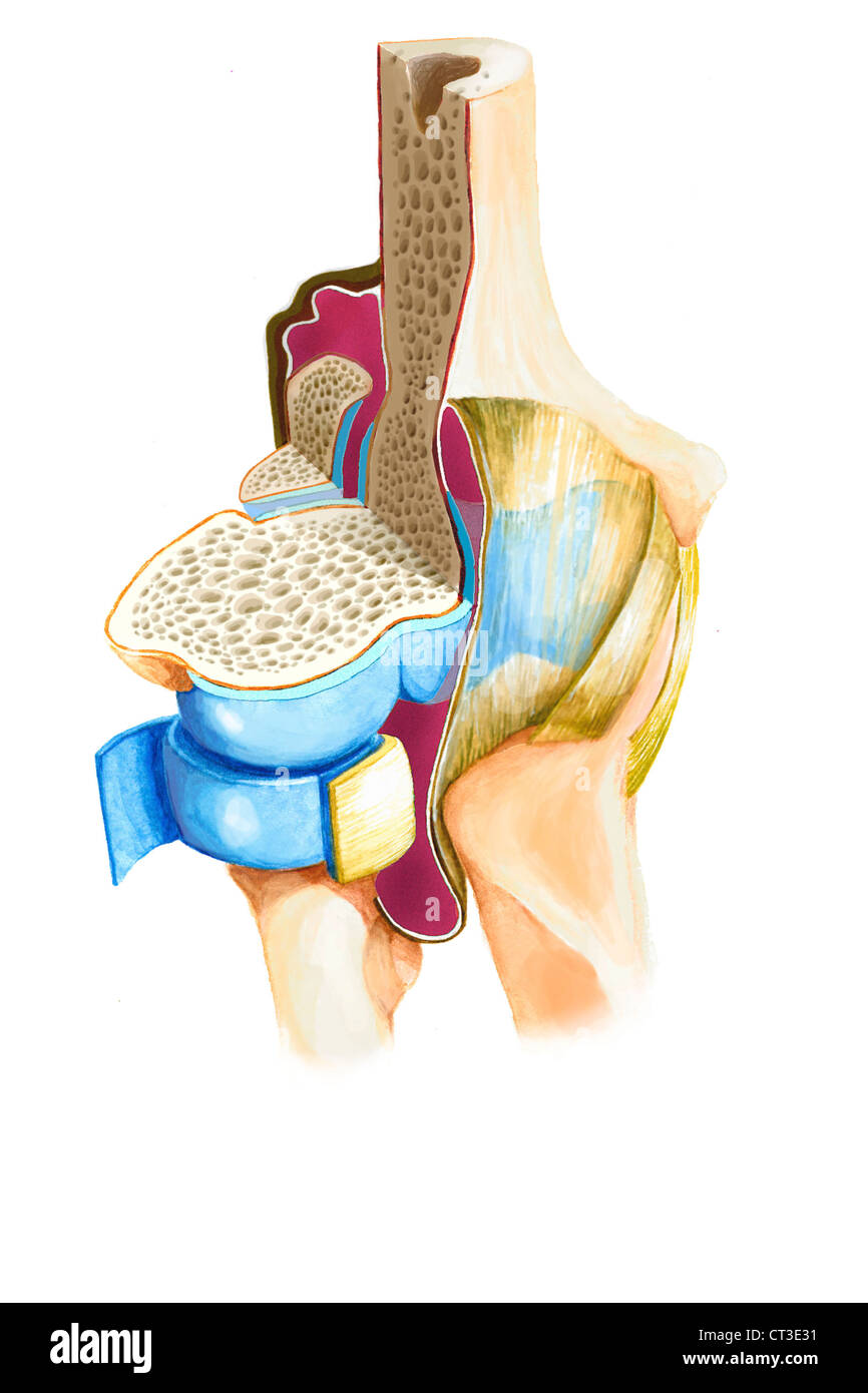 Capsular Ligament Stock Photos & Capsular Ligament Stock Images - Alamy