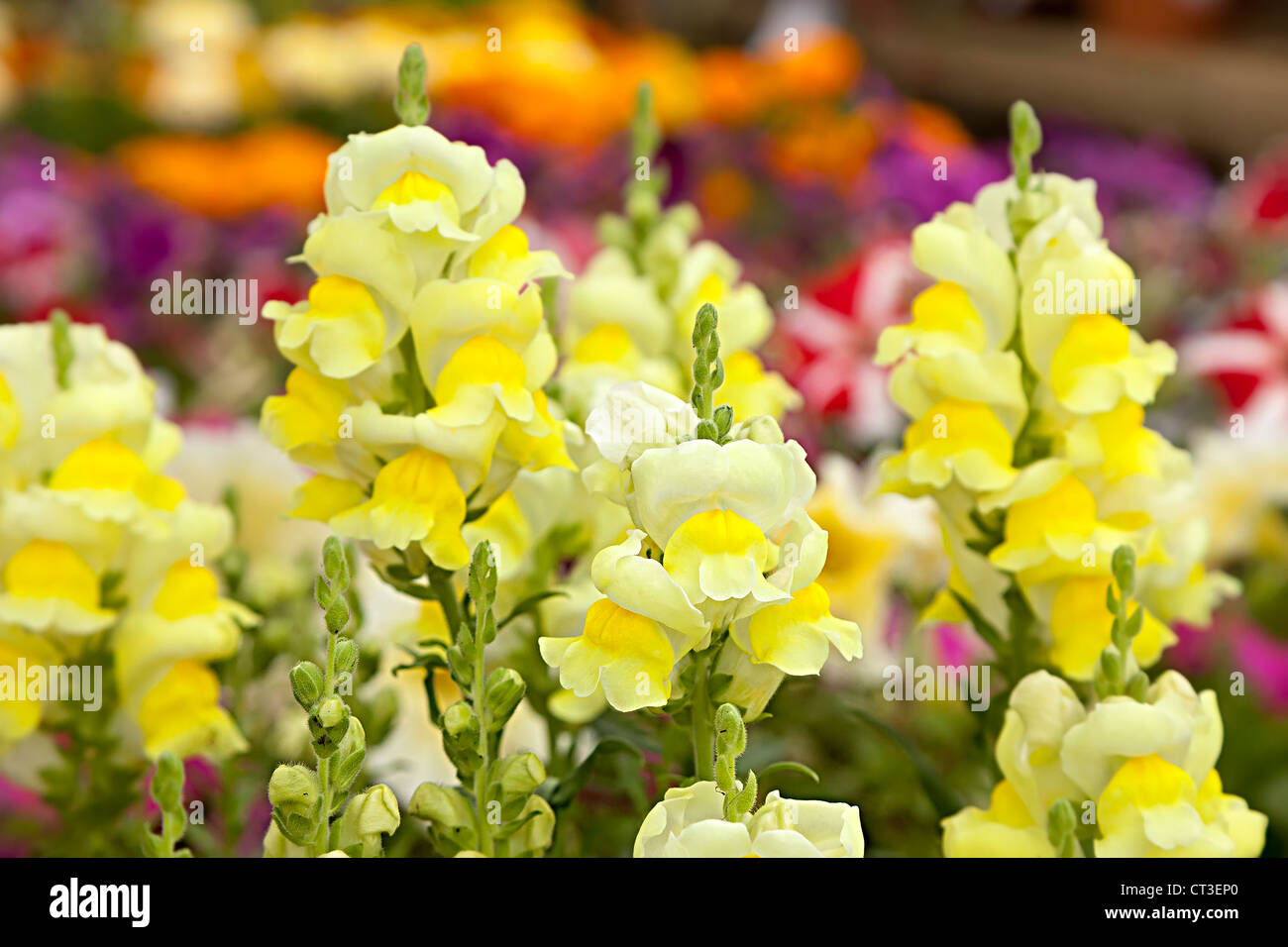 Yellow antirrhinum snapdragon flowers in garden bedding, Wales, UK Stock Photo