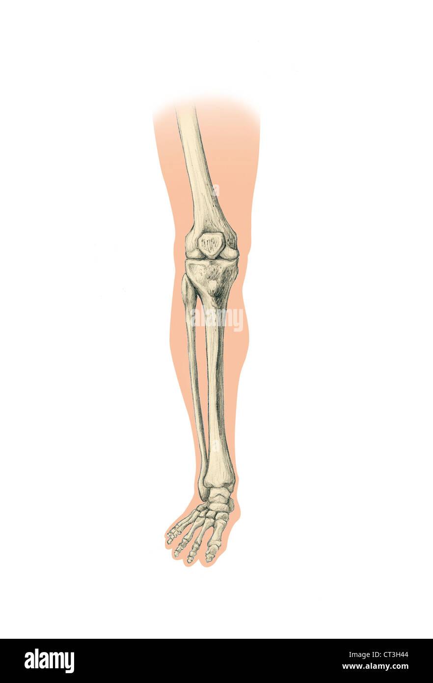 LEG, DRAWING - Stock Image