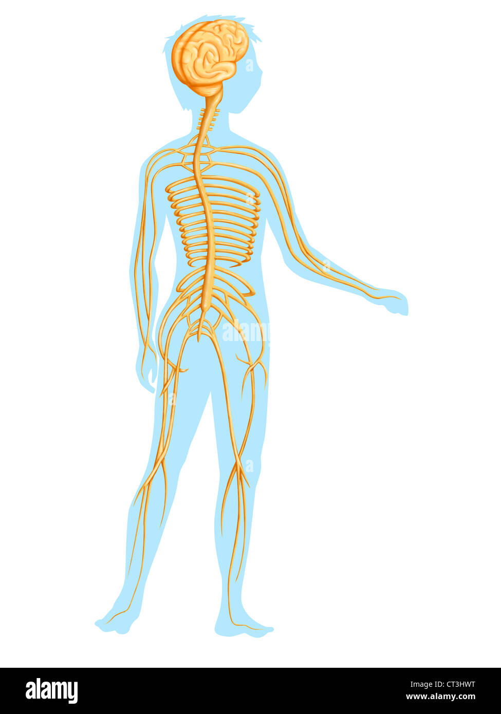 Peripheral Nervous System Drawing Stock Photos Peripheral Nervous