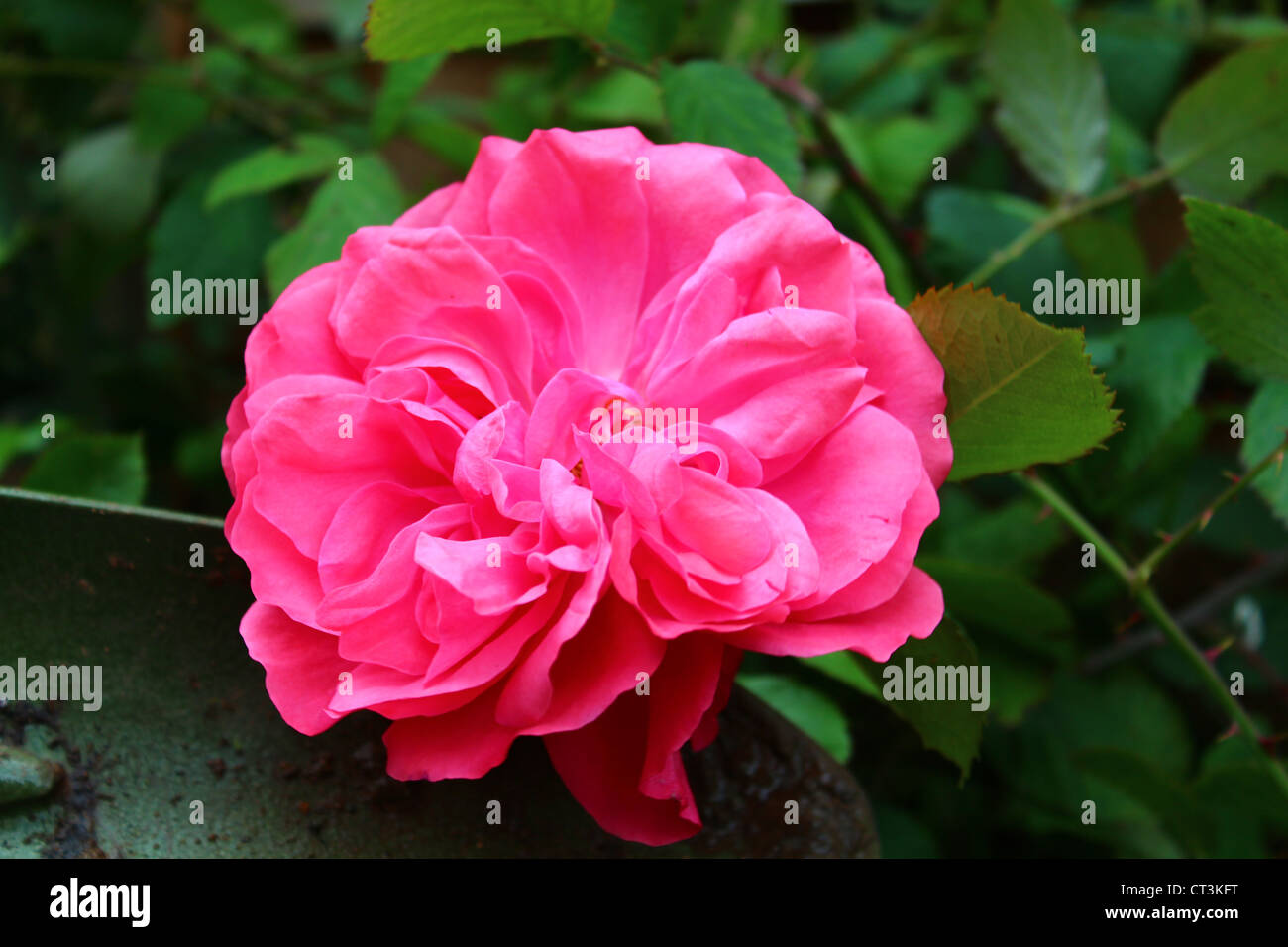 A pink rose set upon a green backdrop of leaves and a hand shovel. - Stock Image