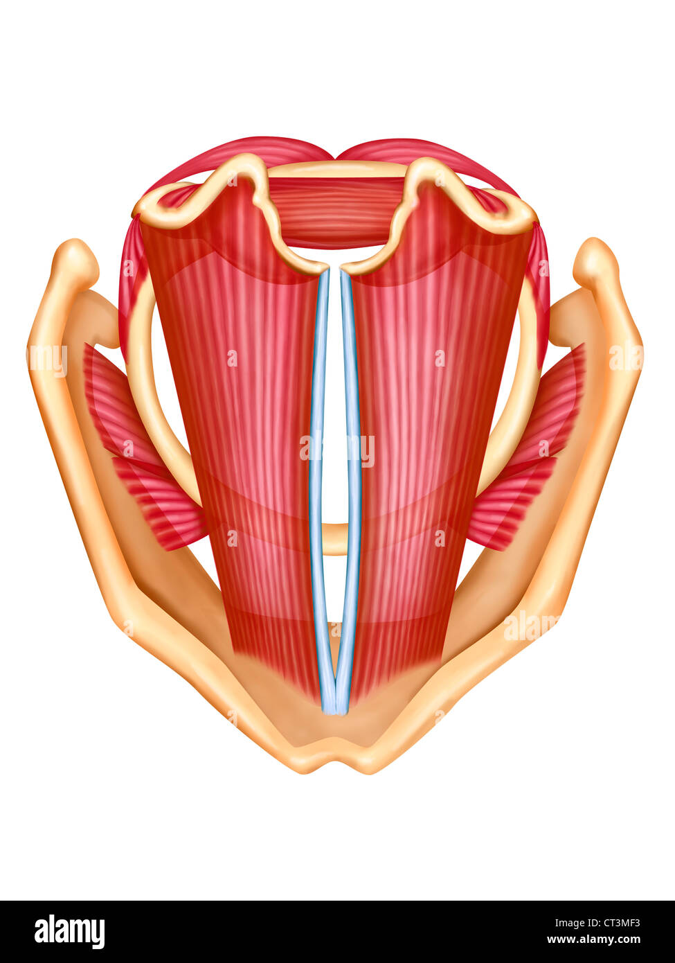 VOCAL CORD, DRAWING Stock Photo: 49254439 - Alamy