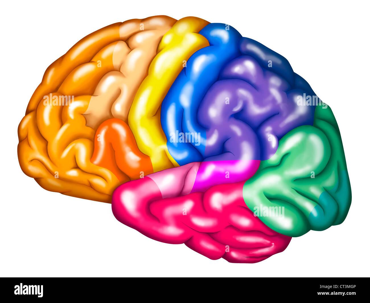 cerebral cortex - Selo.l-ink.co