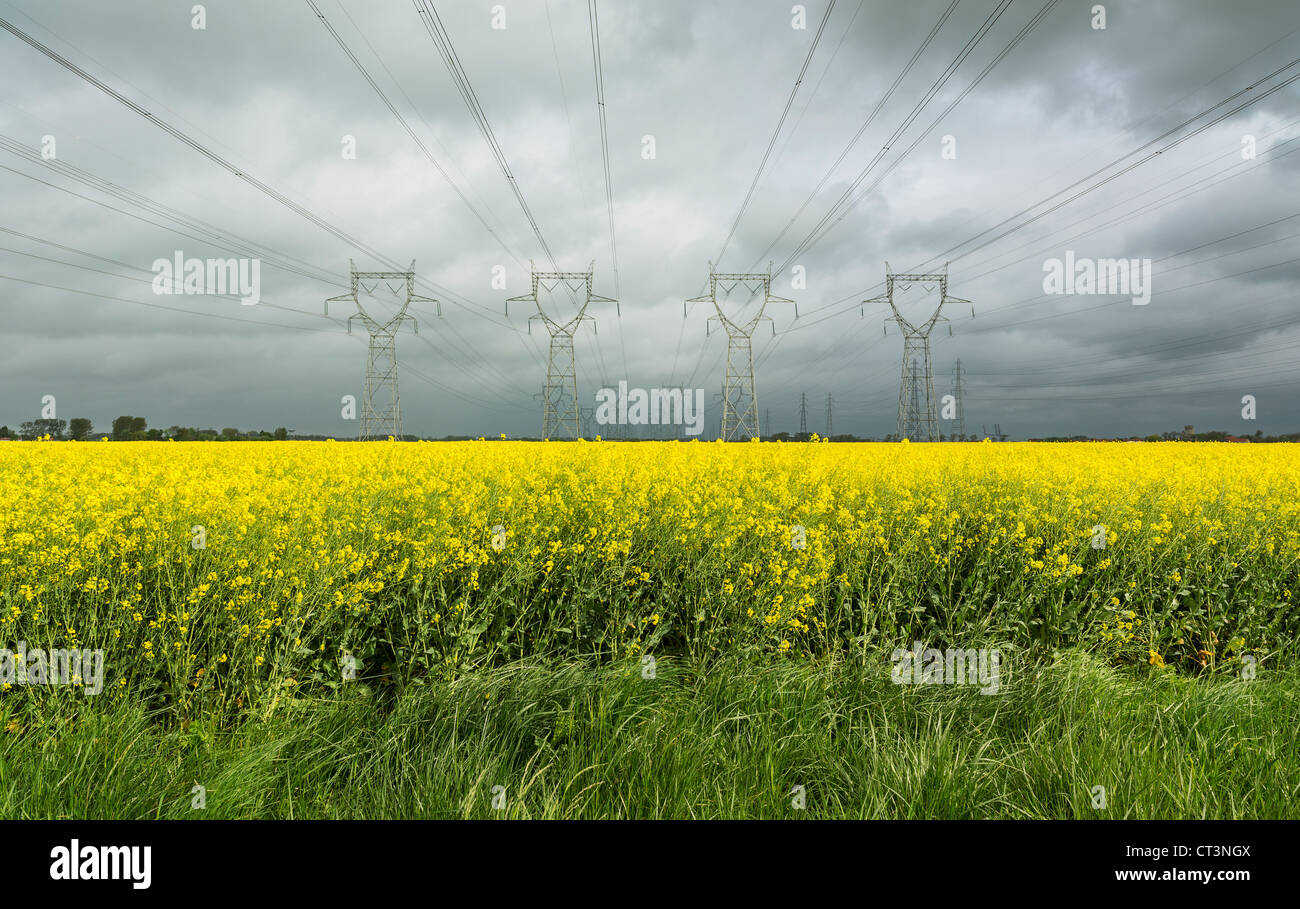 Power lines over field of flowers - Stock Image