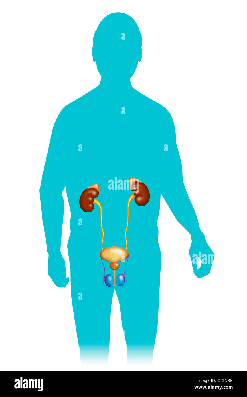 MALE GENITOURINARY TRACT - Stock Image