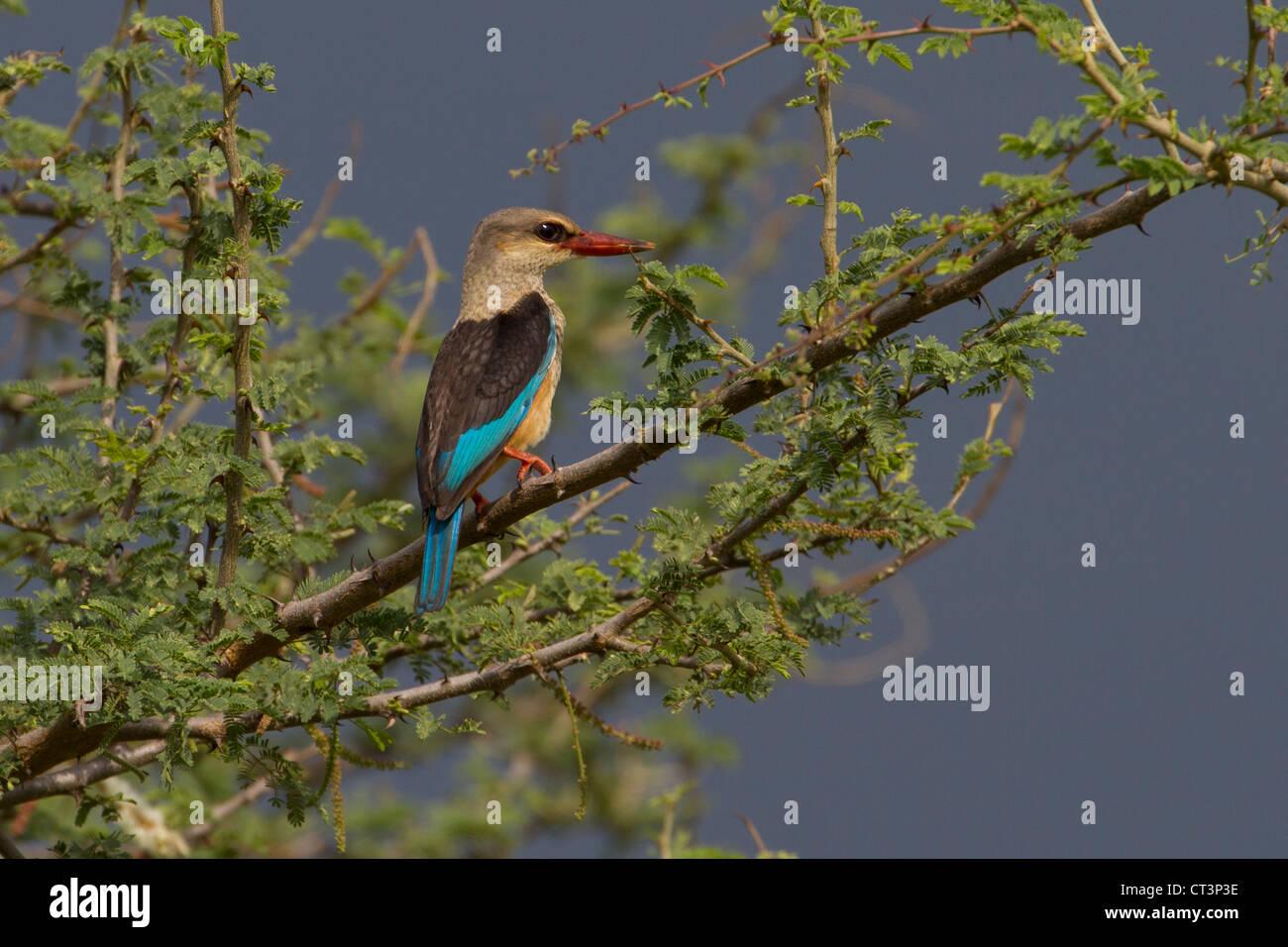 Grey-Headed Kingfisher (Halcyon leucocephala), Murchison Falls National Park, Uganda - Stock Image