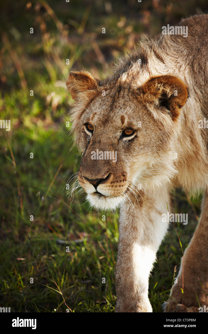 Lion walking in grass - Stock Image
