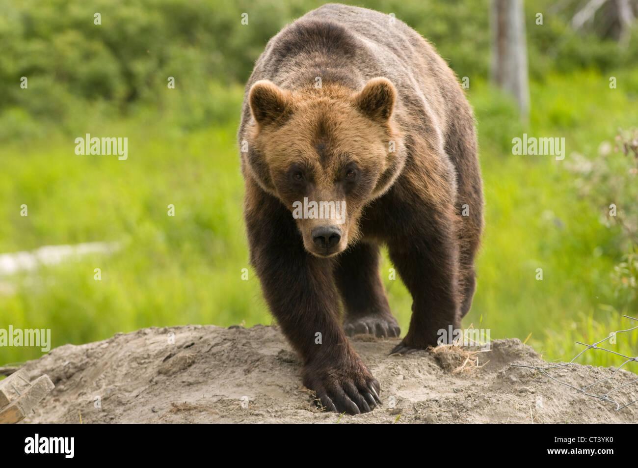 dangerous Alaskan Grizzly bear walking towards the viewer - Stock Image