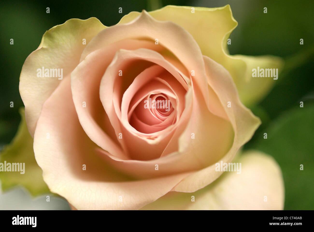 ROSE - Stock Image
