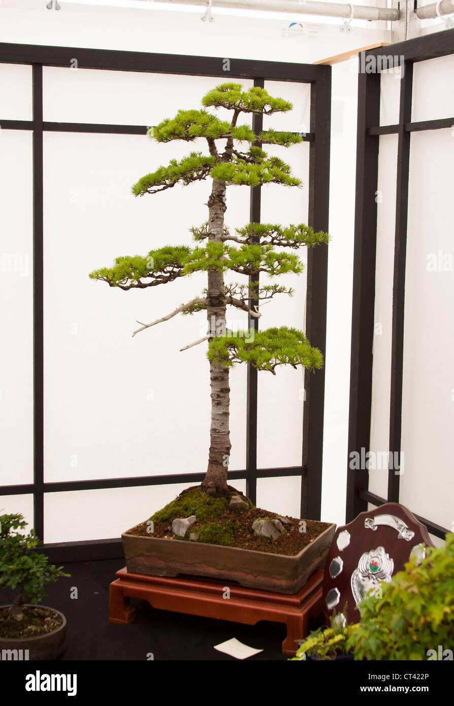Bonsai tree prize winner displayed at show - Stock Image