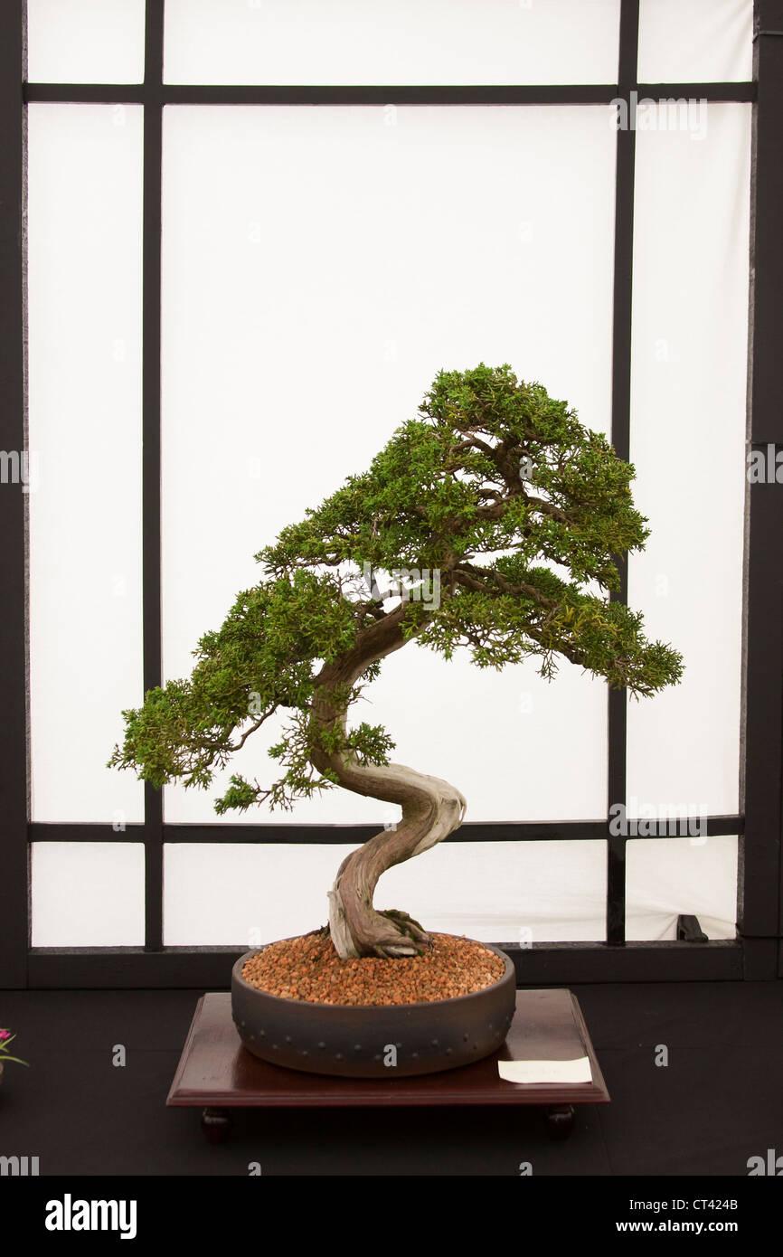 Bonsai tree displayed at show - Stock Image