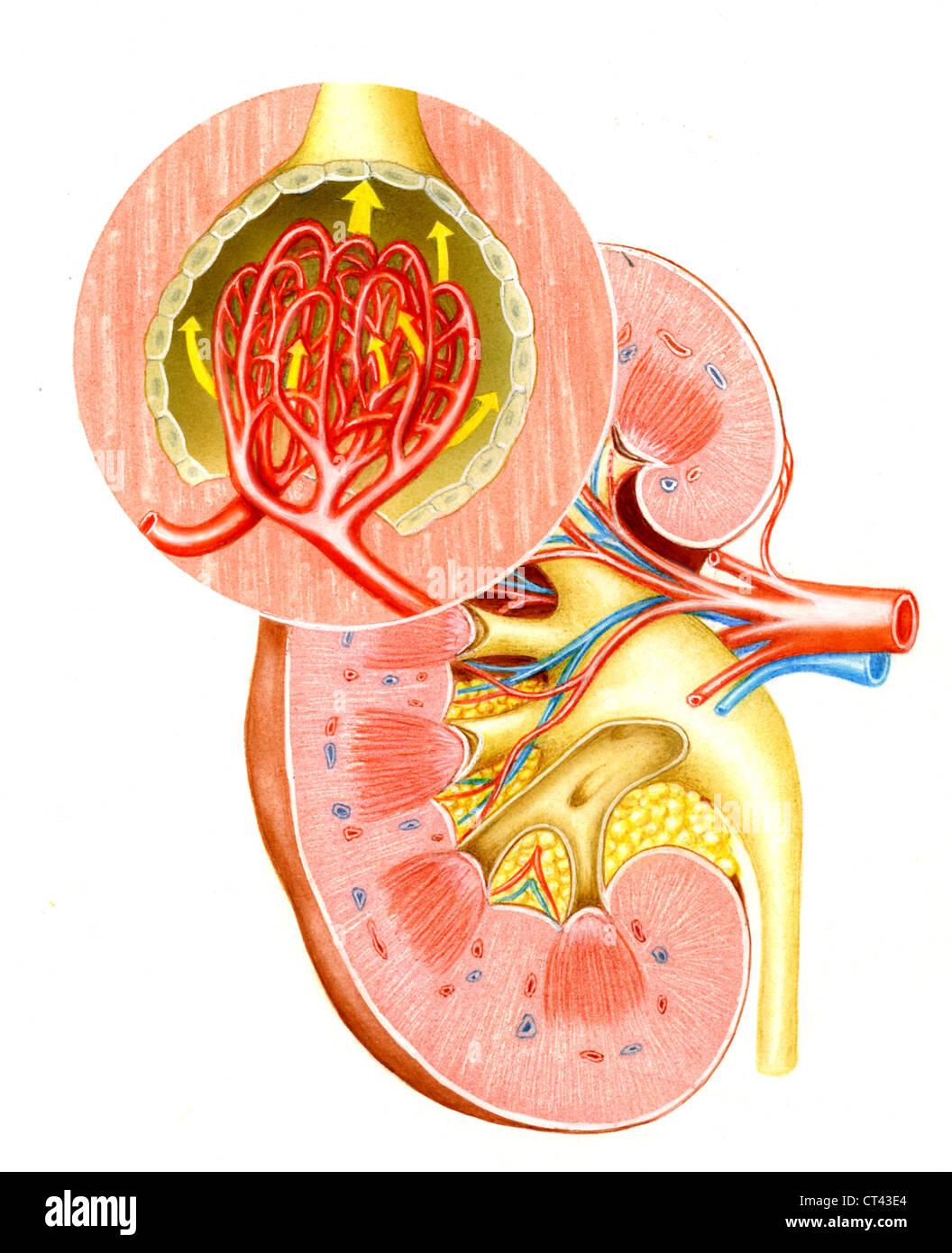 Glomerulus Stock Photos & Glomerulus Stock Images - Alamy