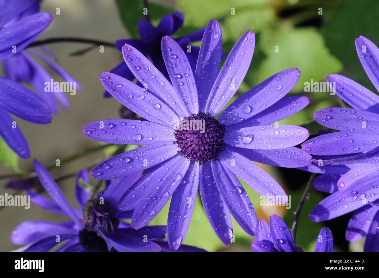 pretty purple Senetti flower in bloom - Stock Image